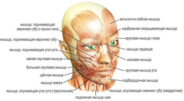 мышцы головы, пластическая анатомия,мышцы лица