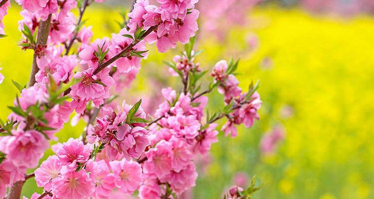 Открытка «Цветок персика»